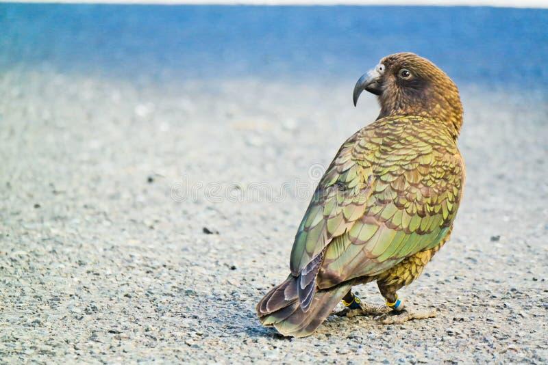 Kea - высокогорный попугай стоковые фото