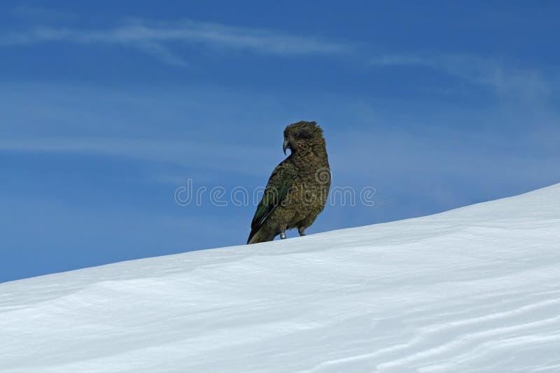 Kea auf Schnee mit blauem Himmel hinten lizenzfreies stockbild