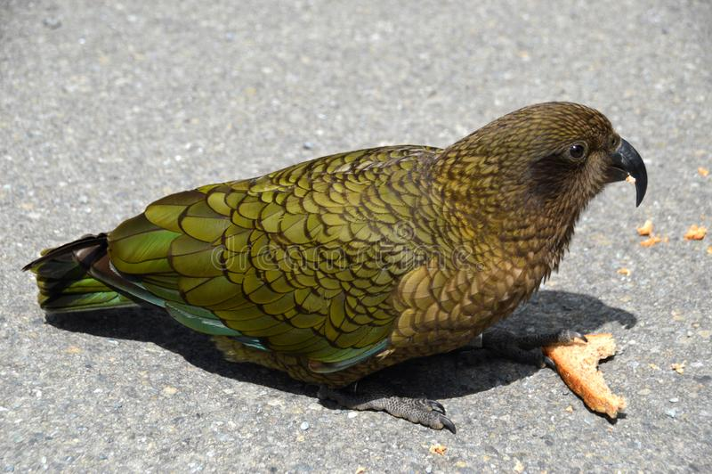Kea Bird imagenes de archivo