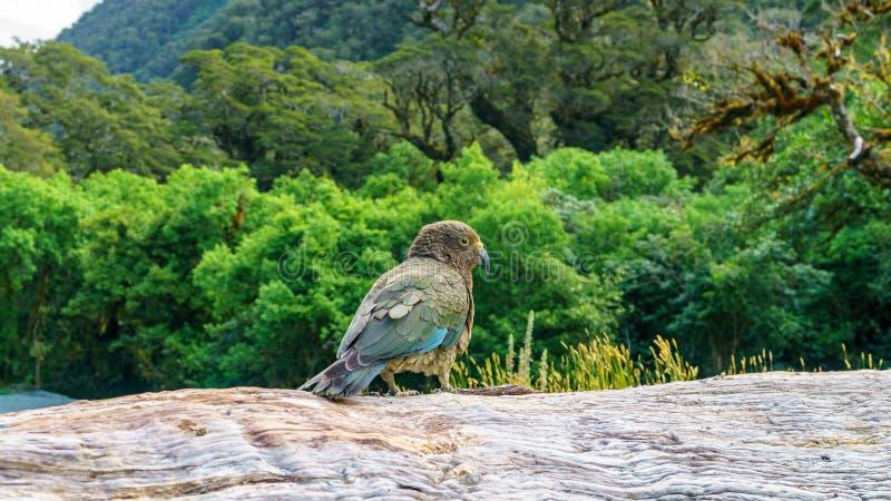 Kea, Gebirgspapagei auf einem Baumstamm, südliche Alpen, Neuseeland 41 stockfotografie