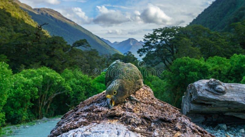 Kea, loro en un tronco de árbol, montañas meridionales, Nueva Zelanda 8 de la montaña fotos de archivo libres de regalías