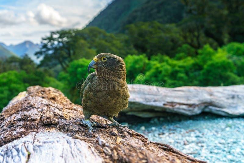 Kea, loro en un tronco de árbol, montañas meridionales, Nueva Zelanda 20 de la montaña imagen de archivo