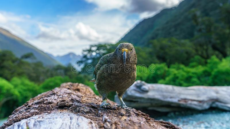 Kea, loro en un tronco de árbol, montañas meridionales, Nueva Zelanda de la montaña imágenes de archivo libres de regalías