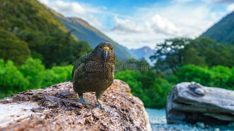 Kea, loro en un tronco de árbol, montañas meridionales, Nueva Zelanda de la montaña foto de archivo