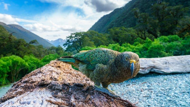 Kea, loro en un tronco de árbol, montañas meridionales, Nueva Zelanda de la montaña imagenes de archivo