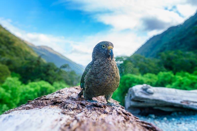 Kea, loro en un tronco de árbol, montañas meridionales, Nueva Zelanda de la montaña fotos de archivo libres de regalías