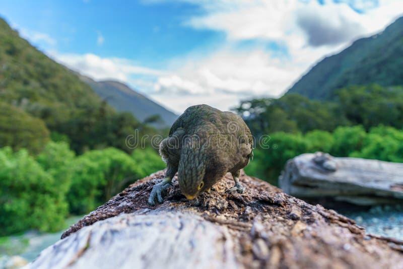 Kea, loro en un tronco de árbol, montañas meridionales, Nueva Zelanda 27 de la montaña imagenes de archivo