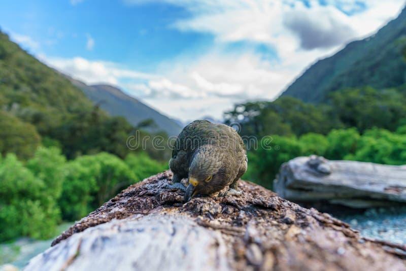 Kea, loro en un tronco de árbol, montañas meridionales, Nueva Zelanda 33 de la montaña foto de archivo libre de regalías