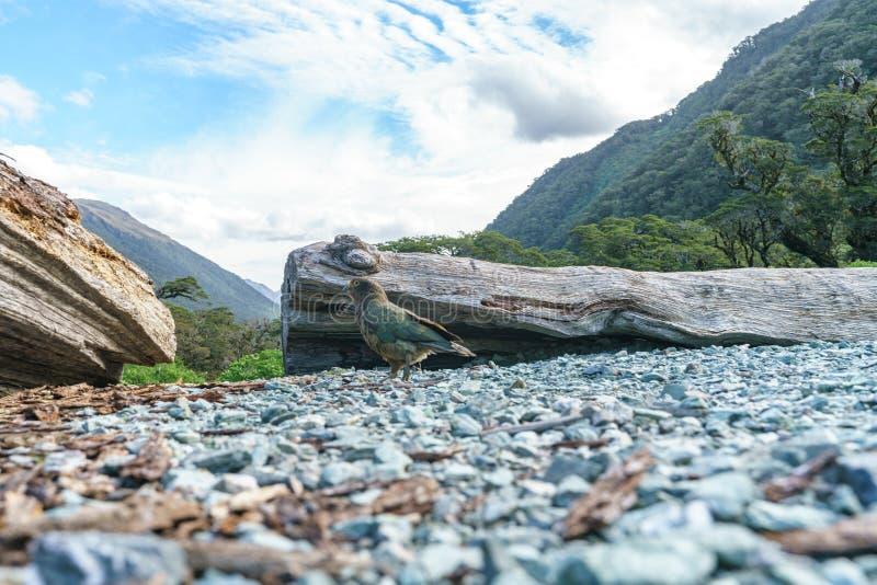 Kea, loro en un tronco de árbol, montañas meridionales, Nueva Zelanda 37 de la montaña foto de archivo libre de regalías