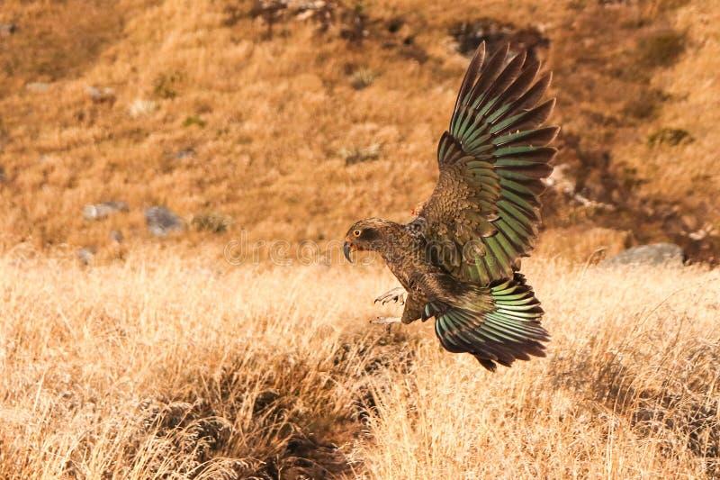 Kea Nestor notabilis Nuovo pappagallo di montagna della Nuova Zelanda catturato atterrando con enormi pallottole Marrone, verde,  immagine stock libera da diritti
