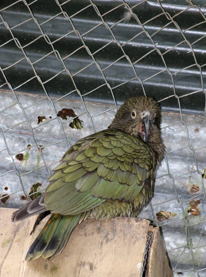 Kea nestor notabilis, papegoja i en aviarium royaltyfri foto