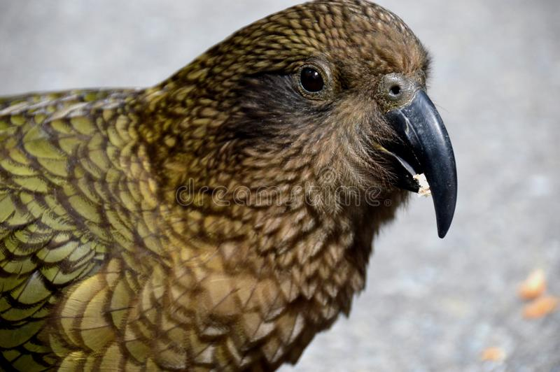 Kea bird royalty free stock photography