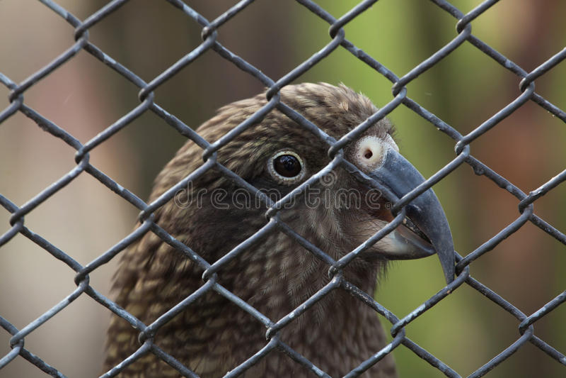 Kea (Nestor notabilis). Wild life animal royalty free stock images
