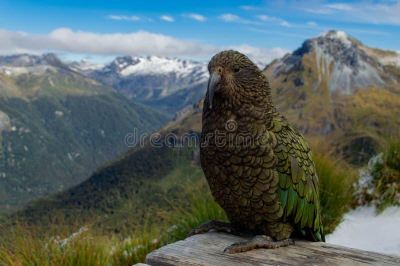 Kea Parrot fresco delante de la cordillera; Pista de Kepler, Nueva Zelanda fotografía de archivo