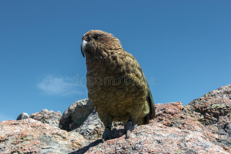 Kea Parrot i naturlig livsmiljö royaltyfri foto