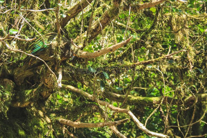 Kea que senta-se na árvore na passagem de Wilmot, som duvidoso - parque nacional de Fiordland, ilha sul, Nova Zelândia imagem de stock