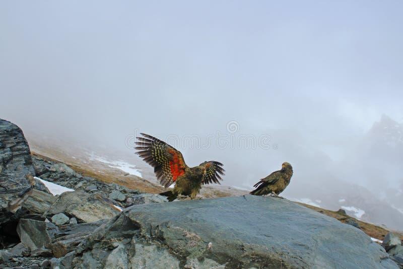 Keas, das auf Rock mit Nebel und Berg hinten spielt stockfotografie