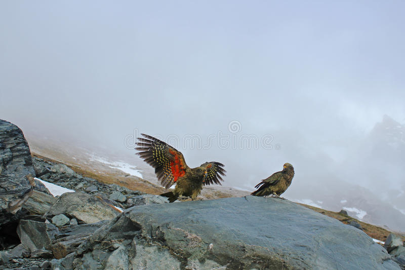Keas playing on rock with mist and mountain behind stock photography