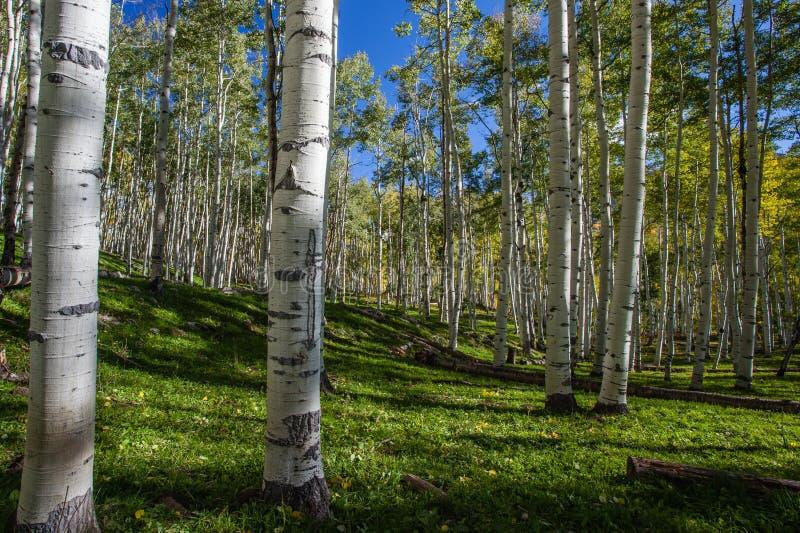 Kebler Pass Aspens. Aspen Grove along the Kebler Pass in Colorado royalty free stock photo