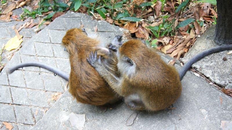 KEDAH, LANGKAWI, MALASIA - 10 de abril de 2015: Júntese de monos en el salvaje Este macaque marrón de cola larga, es foto de archivo