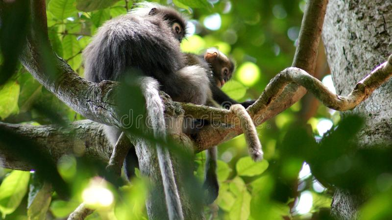KEDAH, LANGKAWI, MALAYSIA - APR 08th, 2015: An adult dusky leaf monkey or langur is sitting with a litte baby monkey stock images