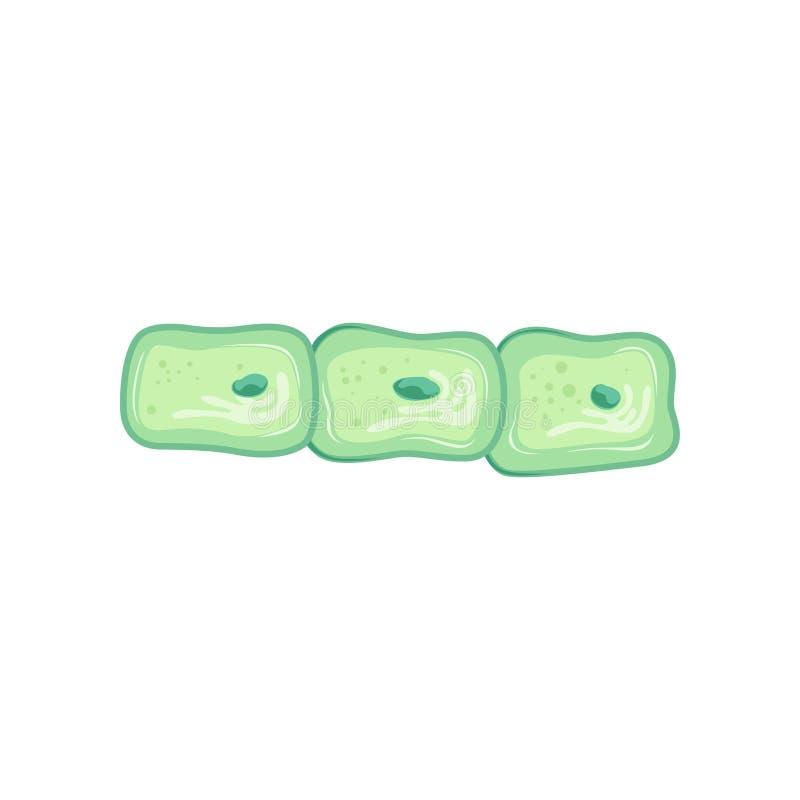 Kedja av gröna celler under mikroskopet med den enkla kärnan royaltyfri illustrationer