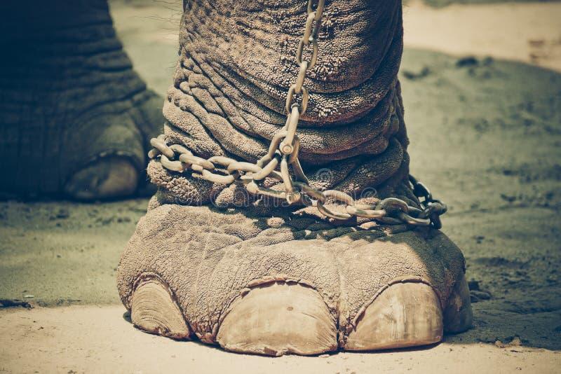 Kedjad fast elefantfot royaltyfri fotografi