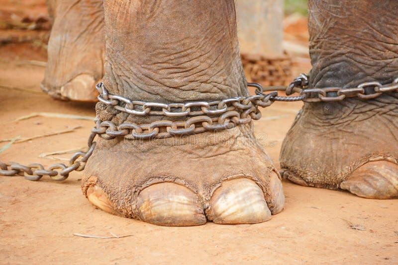 Kedjad fast elefantfot fotografering för bildbyråer