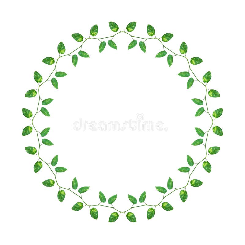 Kedjan av gräsplanguling lämnar vinrankor murgrönan för jäkel` s eller den guld- pothosen royaltyfri illustrationer