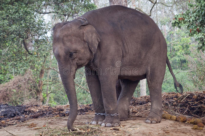Kedjat fast behandla som ett barn elefanten royaltyfri fotografi