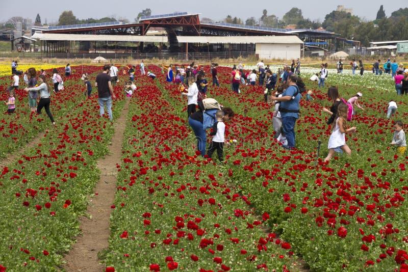 KEDMA, ISRAEL - 7 DE ABRIL DE 2017: Gente que escoge las flores en un campo de los ranúnculos imágenes de archivo libres de regalías