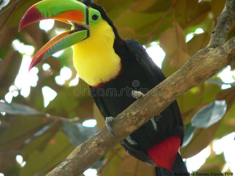 Keel-billed Toucan stock image