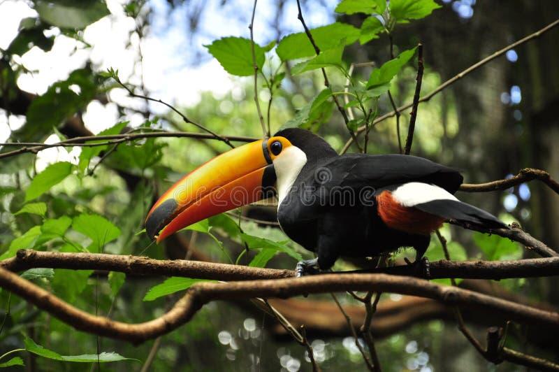 Keel-billed Toucan in Brazil forrest stock photos