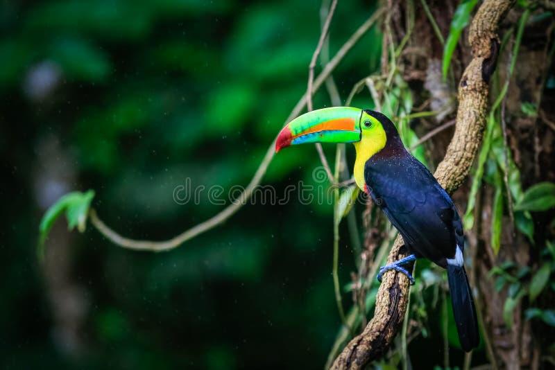 Keel-billed Toucan nella foresta pluviale in Costa Rica immagini stock