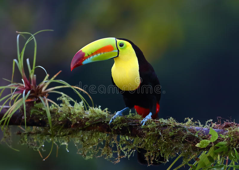 A Keel-billed toucan perched on a mossy branch in Costa Rica royalty free stock images