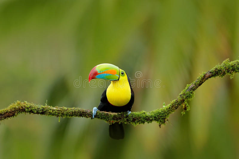 Keel-billed Toucan, Ramphastos sulfuratus, bird with big bill. Toucan sitting on the branch in the forest, Boca Tapada, green vege royalty free stock images