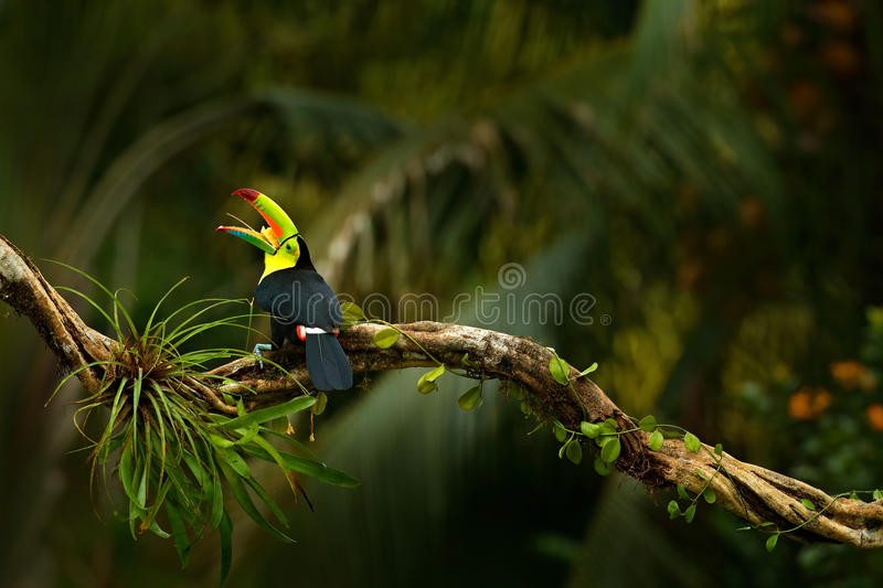 Keel-billed Toucan, Ramphastos sulfuratus, bird with big open bill. Toucan sitting on the branch, forest, Boca Tapada, green veget. Ation, Costa Rica stock photography