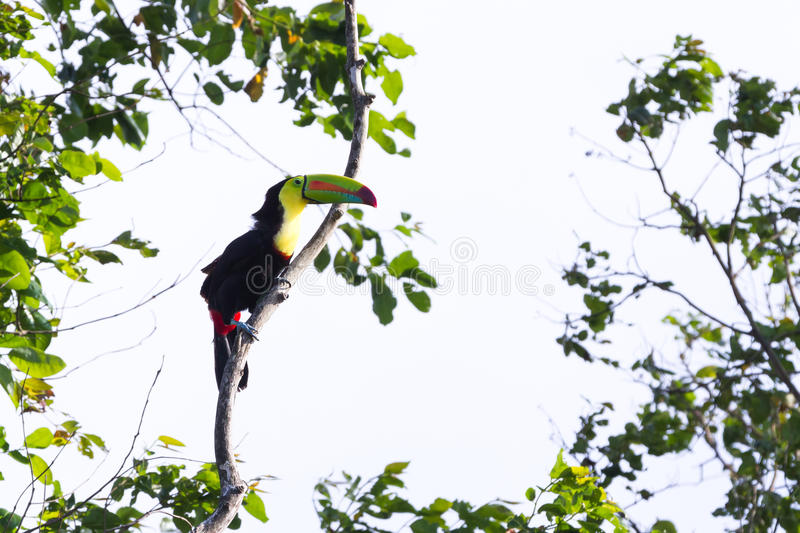 Keel-billed toucan Ramphastos sulfuratus. Keel billed tucan, a beautiful bird with vivid colors perched on a tree with white skies in the background royalty free stock images
