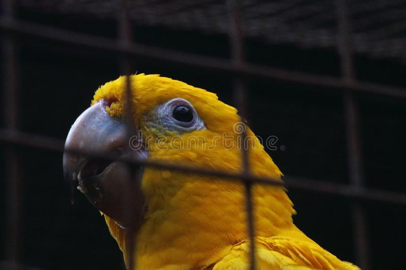 KEEN EYE OF A GOLDEN CONURE BIRD IN A CAGE stock images
