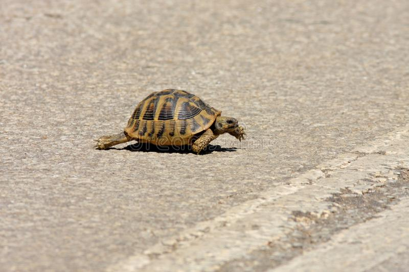 Keep walking- turtle crossing the road royalty free stock image