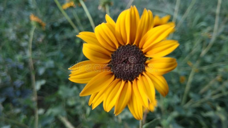 Keep your face towards sunshine and you can& x27;t see your shadow that is what sunflowers do. royalty free stock photo