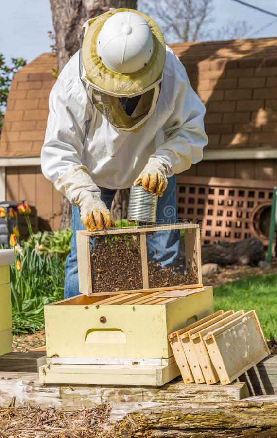 Keeping the Bees. A beekeeper installs a new package of bees in a hive stock images