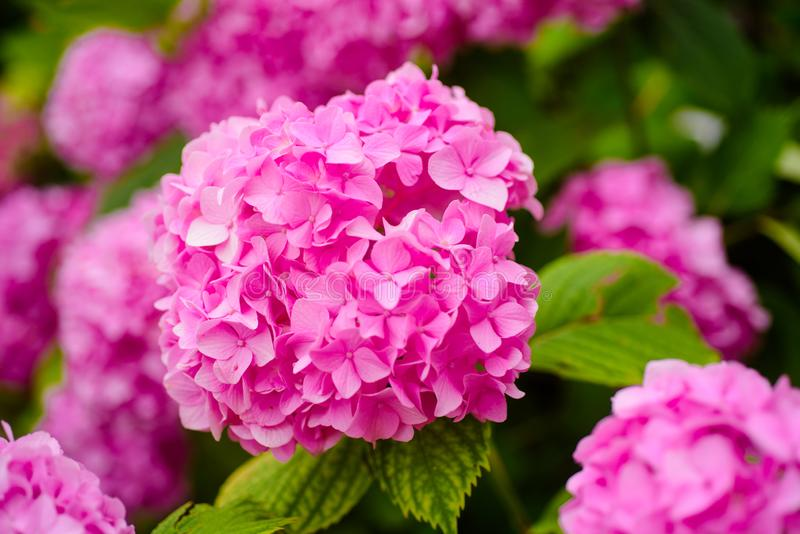 Keeping your garden blooming. Hydrangea blossom on sunny day. Flowering hortensia plant. Blossoming flowers in summer. Garden. Pink hydrangea in full bloom stock images