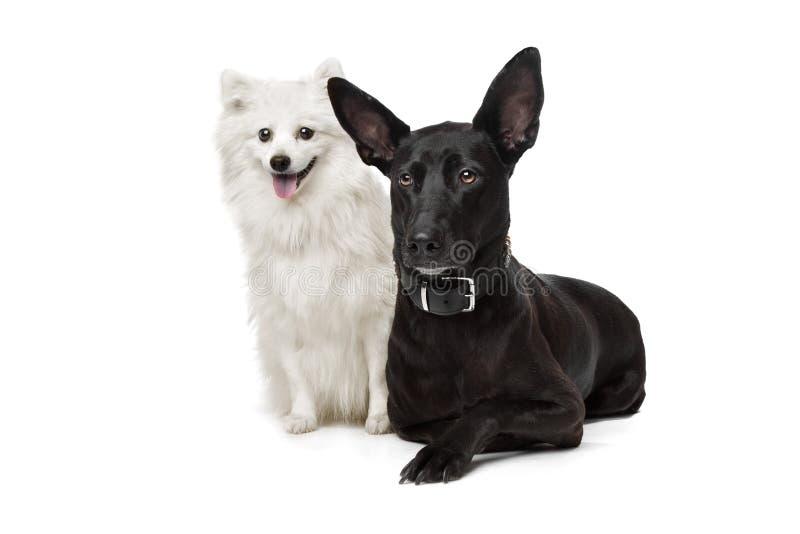 Keeshond (cane olandese della chiatta) e un pastore nero fotografia stock