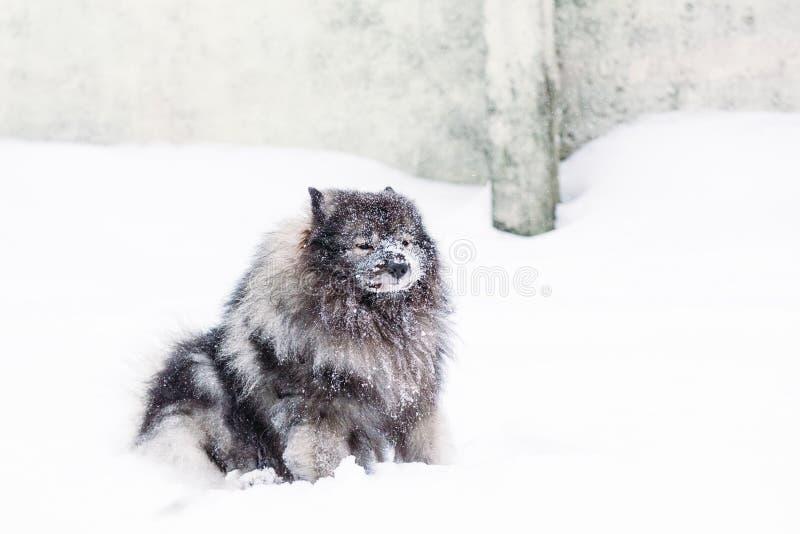 Keeshond con el bozal en la nieve fotos de archivo libres de regalías