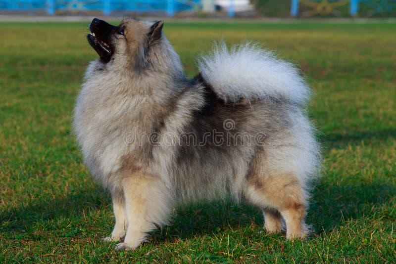 Keeshond de race de chien photo stock