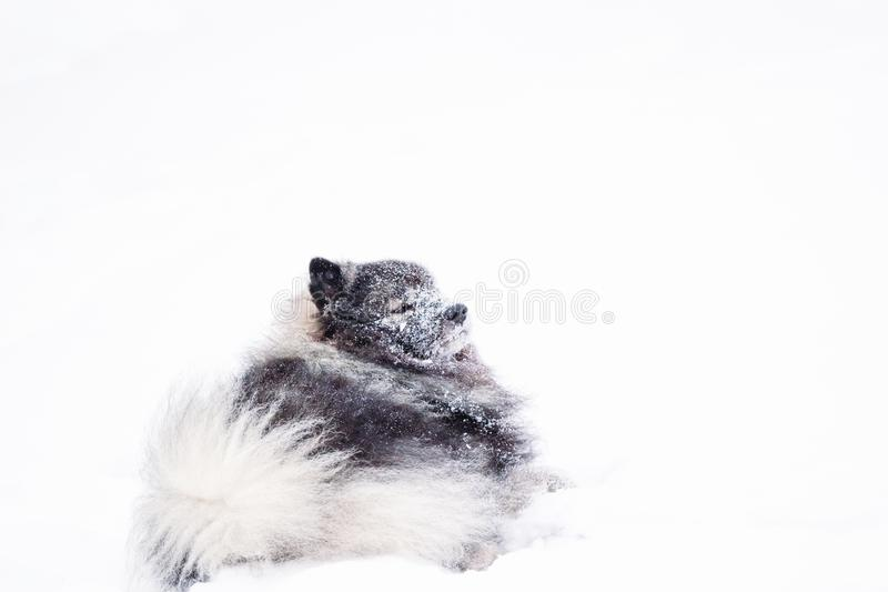 Keeshondhund, der im Schnee stillsteht lizenzfreies stockfoto