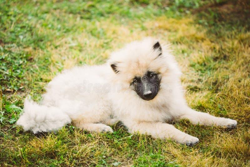 Keeshound, Keeshond, Spitz del tedesco del cane di Keeshonden immagine stock