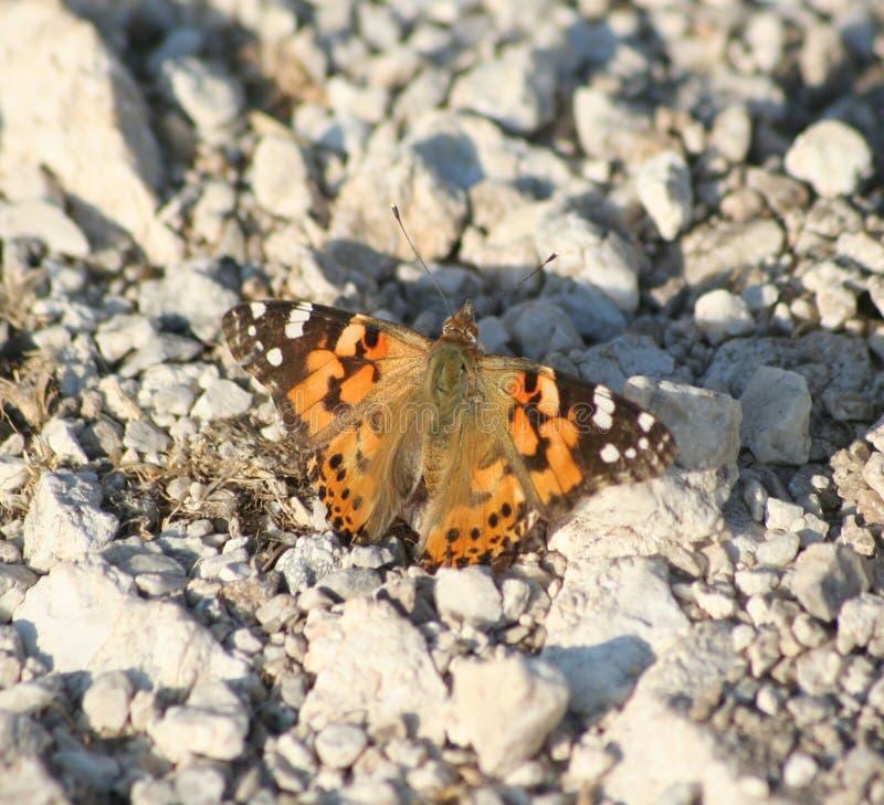 Kefalonianvlinder stock foto's