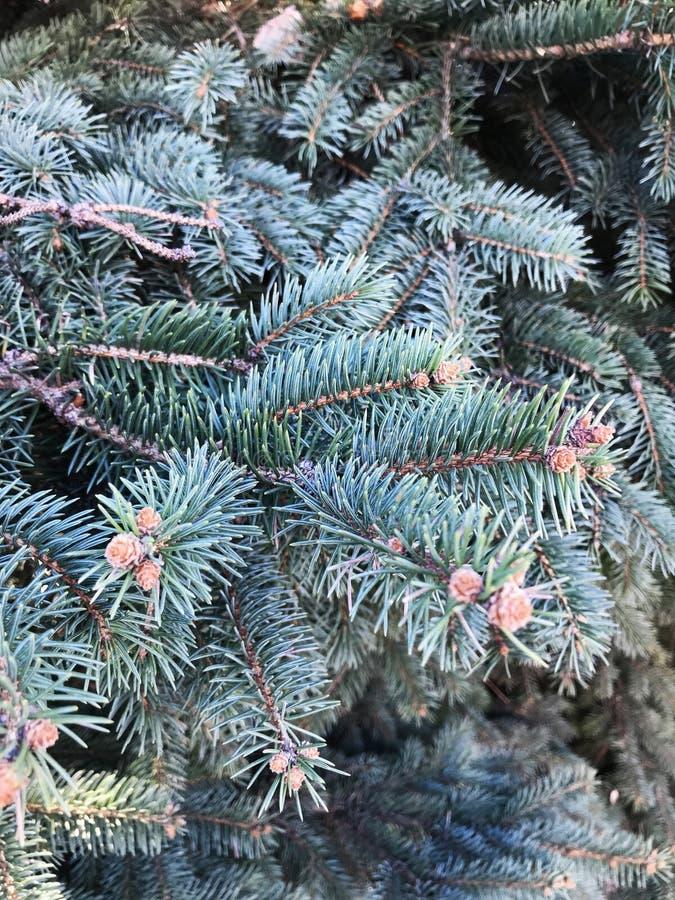 Kegel auf dem Baum Wenig Klumpen, der auf einem Baum wächst stockfoto